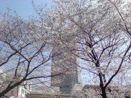 20080328-sakura.JPG